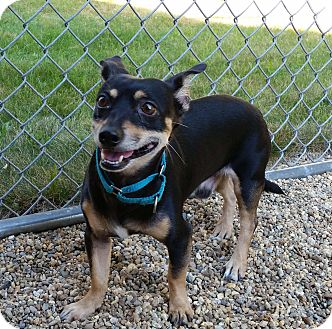 Miniature Pinscher Mix Dog for adoption in Medfield, Massachusetts - Rocky