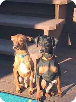 Miniature Pinscher/Terrier (Unknown Type, Small) Mix Dog for adoption in Hockessin, Delaware - Spence