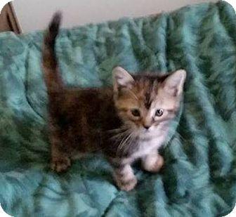 Domestic Shorthair Kitten for adoption in Woodstock, Ontario - Rosee