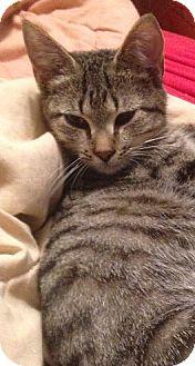 Domestic Shorthair Kitten for adoption in Hillside, Illinois - Becky-7 MTHS-BAILEY's SISTER