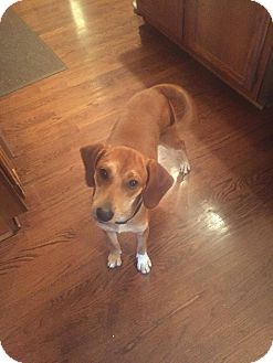 Hound (Unknown Type) Mix Puppy for adoption in Hainesville, Illinois - Layla