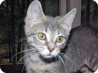 Domestic Shorthair Kitten for adoption in Martinsville, Indiana - Molly Meows