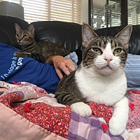 Domestic Shorthair Cat for adoption in San Pedro, California - Harry (LOVES belly rubs!)