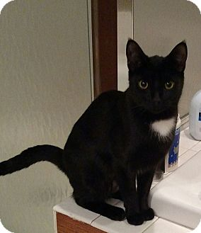 Domestic Shorthair Cat for adoption in Lewis Center, Ohio - Sockie