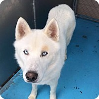 Husky Mix Dog for adoption in San Francisco, California - Sugar