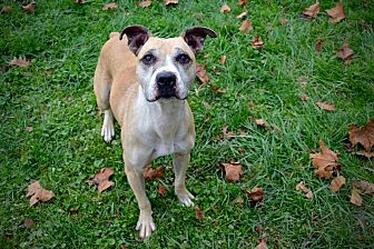 Pit Bull Terrier Mix Dog for adoption in Fairmont, West Virginia - Marley