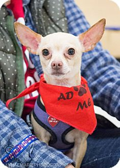 Chihuahua Mix Dog for adoption in Grand Rapids, Michigan - Kirby