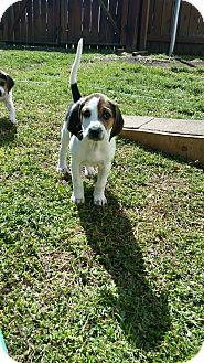 Treeing Walker Coonhound Mix Puppy for adoption in Smithfield, North Carolina - Spot