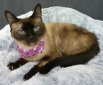 Siamese Cat for adoption in League City, Texas - Little Bit