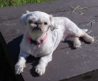 Shih Tzu Mix Dog for adoption in Fairfax, Virginia - Nellie
