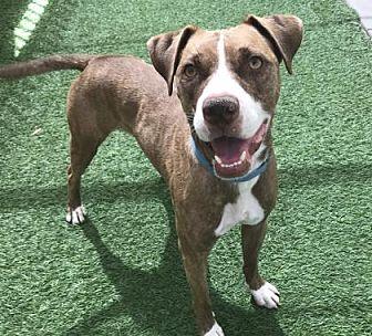 American Staffordshire Terrier Mix Dog for adoption in Phoenix, Arizona - Wezer