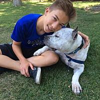 American Staffordshire Terrier Mix Dog for adoption in Ojai, California - BUDDY