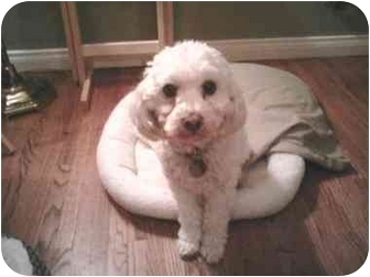 Bichon Frise/Miniature Poodle Mix Dog for adoption in Culver City, California - Buddy