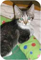 Domestic Shorthair Cat for adoption in Strathmore, Alberta - Mena