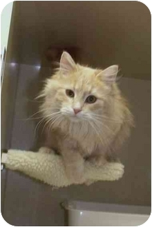 Domestic Longhair Cat for adoption in Morden, Manitoba - Sara
