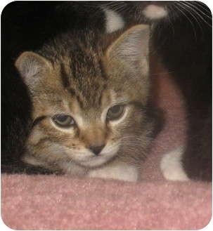 Domestic Shorthair Kitten for adoption in Acme, Pennsylvania - Andy