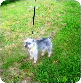 Schnauzer (Miniature) Mix Dog for adoption in Crystal River, Florida - Gretchen