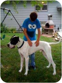 Great Dane Mix Dog for adoption in Inver Grove Heights, Minnesota - JD