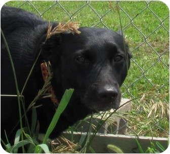 Labrador Retriever/Border Collie Mix Dog for adoption in Grinnell, Iowa - Jasper