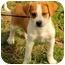 Photo 1 - Beagle Mix Puppy for adoption in Staunton, Virginia - Darby