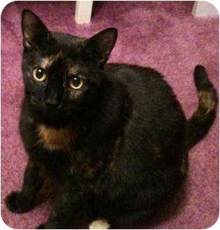 Domestic Shorthair Cat for adoption in Medford, New Jersey - Pumpkin