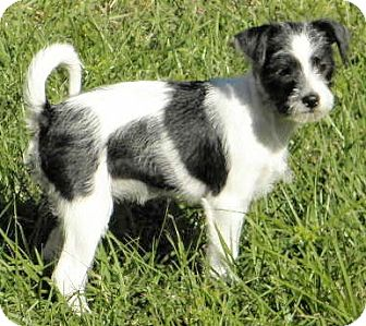 Rat Terrier/Terrier (Unknown Type, Small) Mix Puppy for adoption in Terra Ceia, Florida - BERKELEY, born Sept. 7th