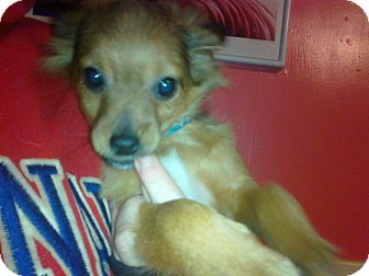 Chihuahua Mix Puppy for adoption in Cumberland, Maryland - Kringle