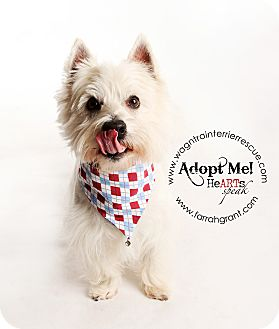 Westie, West Highland White Terrier Dog for adoption in Omaha, Nebraska - JJ-pending adoption