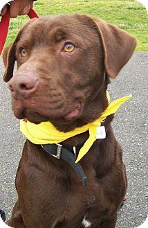 Labrador Retriever Mix Puppy for adoption in Grants Pass, Oregon - Kona