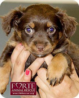 Spaniel (Unknown Type)/Labrador Retriever Mix Puppy for adoption in Marina del Rey, California - Didi