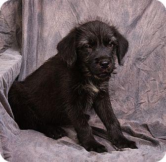 Terrier (Unknown Type, Medium)/Border Collie Mix Puppy for adoption in Anna, Illinois - GINNY