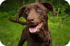 Labrador Retriever Mix Dog for adoption in Salem, Massachusetts - Baby Jane