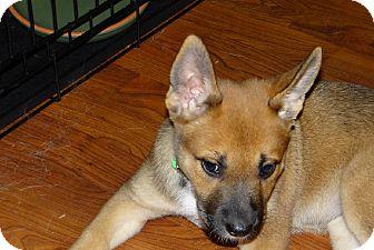 German Shepherd Dog Mix Puppy for adoption in Dripping Springs, Texas - Roo