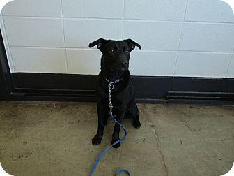 Labrador Retriever Mix Dog for adoption in LaGrange, Kentucky - SHADOW