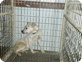 Labrador Retriever Mix Dog for adoption in Hearne, Texas - JAMES