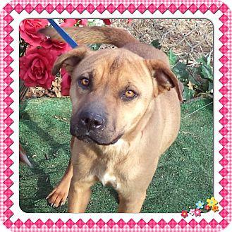Shar Pei Mix Dog for adoption in Marietta, Georgia - BUTTERCUP (R)