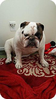 English Bulldog Dog for adoption in West Richland, Washington - Beckham