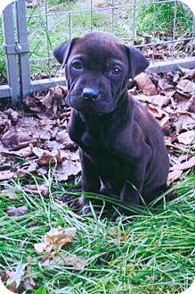 Shar Pei/Labrador Retriever Mix Puppy for adoption in Newport, Vermont - Oberyn