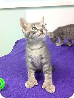 Hemingway/Polydactyl Kitten for adoption in Putnam Hall, Florida - Archer