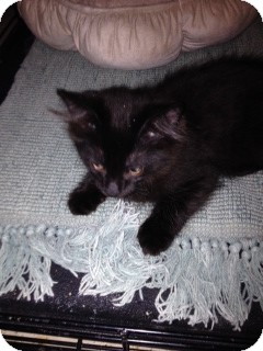 Domestic Mediumhair Kitten for adoption in Tracy, California - Inky-ADOPTED!