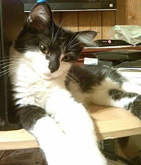 Domestic Longhair Cat for adoption in Laconia, Indiana - Jinne