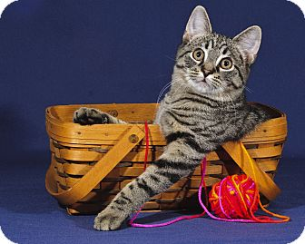 Domestic Shorthair Kitten for adoption in Wayne, New Jersey - Weeble