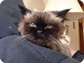 Himalayan Cat for adoption in Mount Clemens, Michigan - Mya