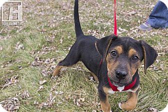 Beagle/Dachshund Mix Puppy for adoption in Baltimore, Maryland - Galitzin
