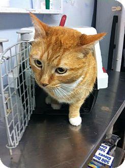 Domestic Shorthair Cat for adoption in Darlington, South Carolina - Sunflower