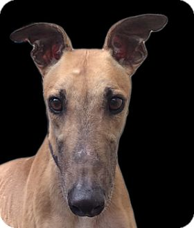 Greyhound Dog for adoption in Swanzey, New Hampshire - Ryan