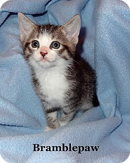 Domestic Shorthair Kitten for adoption in Bentonville, Arkansas - Brambleclaw