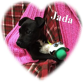 Labrador Retriever/Boxer Mix Puppy for adoption in HAGGERSTOWN, Maryland - JADA