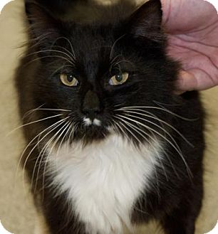 Domestic Longhair Cat for adoption in Lincolnton, North Carolina - Thom EUTH June 8!