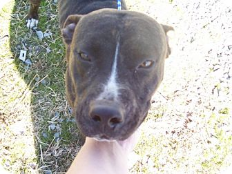 Pit Bull Terrier Mix Dog for adoption in Greenville, Kentucky - kilo